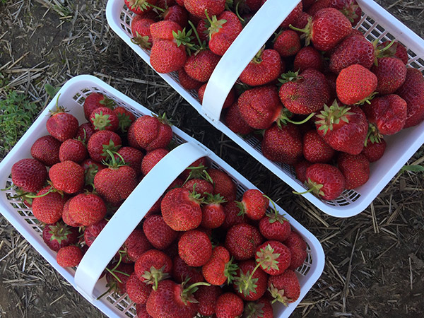 Our Farmers Market offers fresh local strawberries